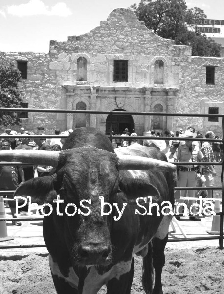 Bull in front of the Alamo