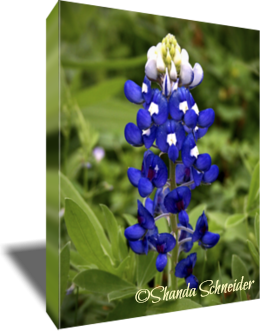 The Texas Blubonnet